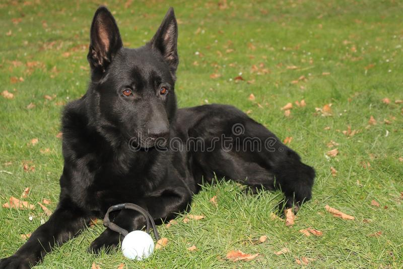 A big black dog German Shepherd with big brown eyes lies on green grass with daisy and leafes at sunny day with his toy stock images