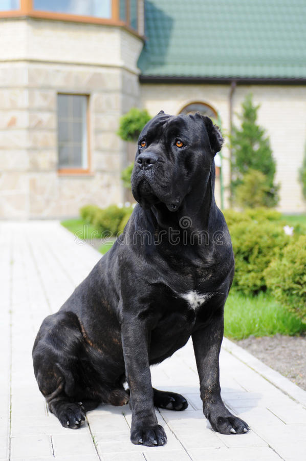 Free Big Black Dog In Own Yard Royalty Free Stock Photo - 19695105