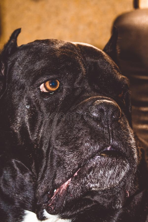 The big and black dog lies and has a rest. Breed of Kan Corso, French bulldog. Lovely and wrinkled muzzle. Pet. Big nose. stock images