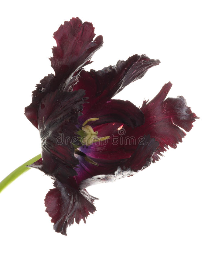 Big black flower parrot tulip stock image