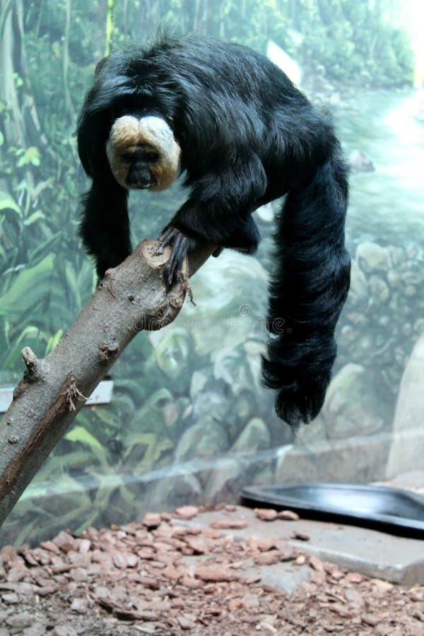 Big black hairy monkey with white face royalty free stock image