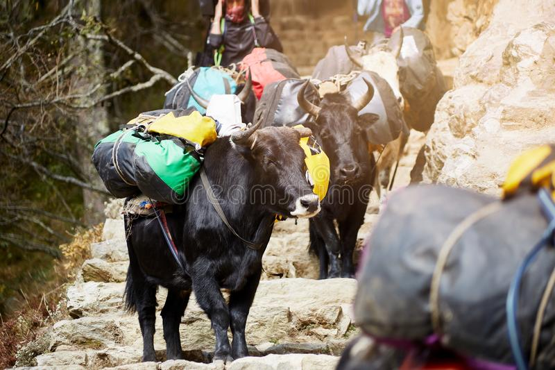 Big black Himalayan yaks. royalty free stock image