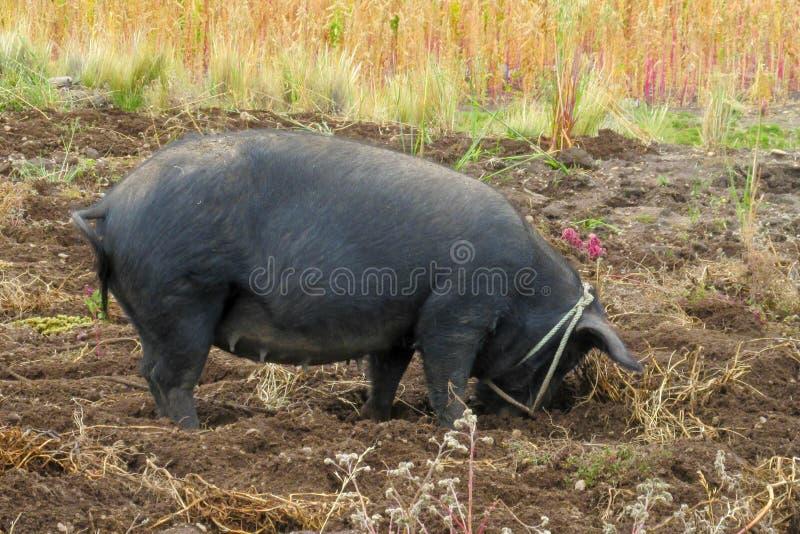 Big black pig royalty free stock image