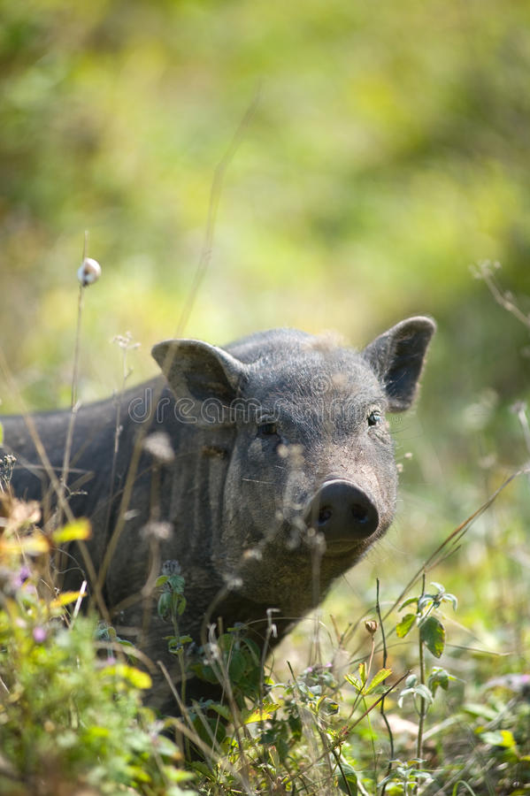 Big black pig on the grass royalty free stock image