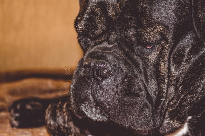 The big and black sleepy dog lies at home. Breed of Kan Corso, French bulldog. Lovely muzzle. Pet. royalty free stock photography