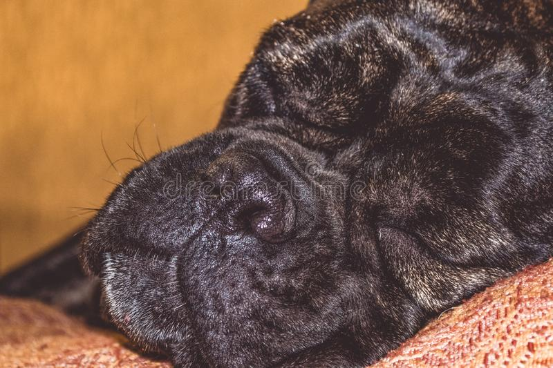 The big and black sleepy dog lies at home. Breed of Kan Corso, French bulldog. Lovely muzzle. Pet. royalty free stock photo