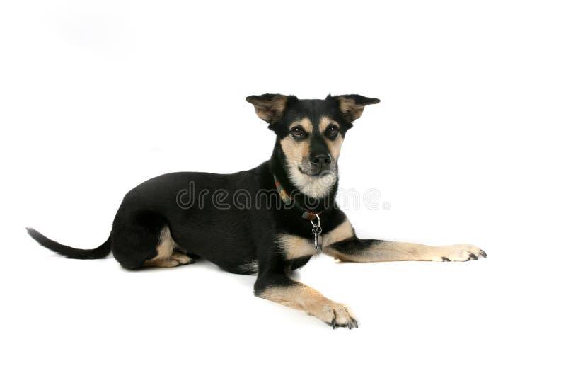 Big Black And Tan Dog On High Key Background Stock Photo