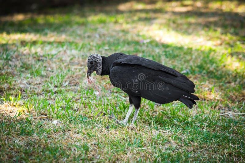 Big black vulture eating stock images
