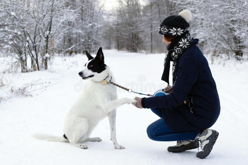 Big black-white dog is giving a paw its owner on a background of winter snowy forest stock image