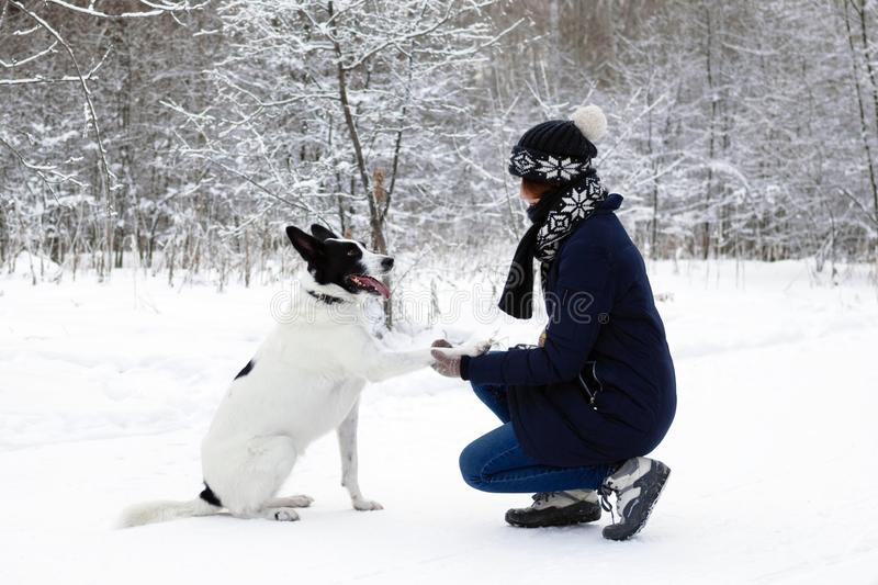 Big black-white dog is giving a paw its owner on a background of winter snowy forest royalty free stock image