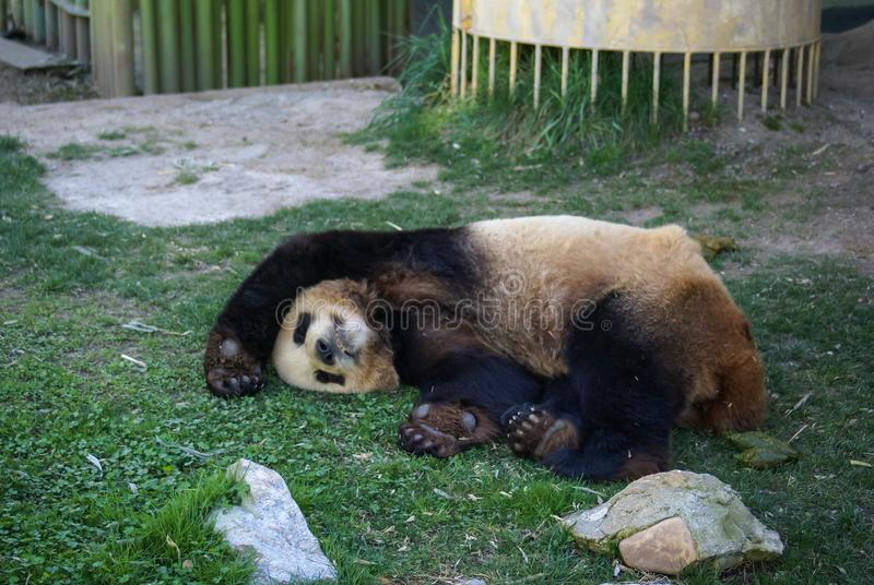 Big black-white panda bear sleeping with paws up give up stock images