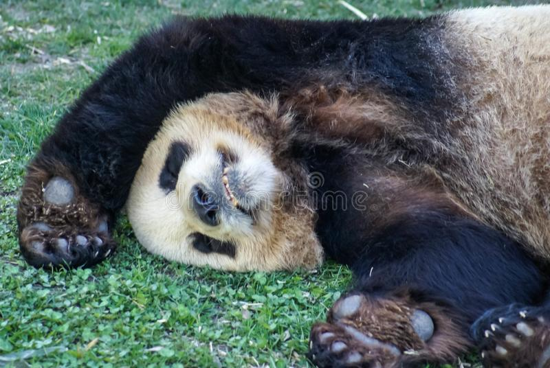 Big black-white panda bear sleeping with paws up give up royalty free stock photography