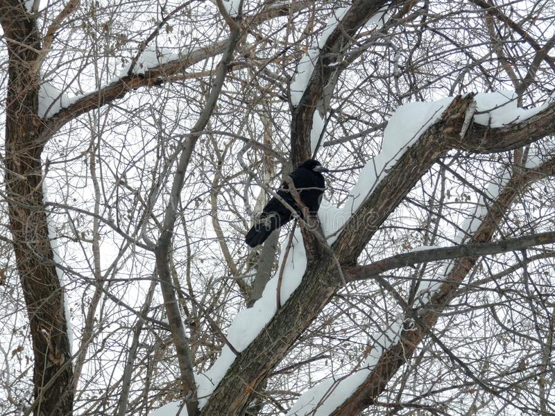 Big black wild crow among branches in the park. Fat dark bird on the tree. Cloudy winter day, snow around stock photo
