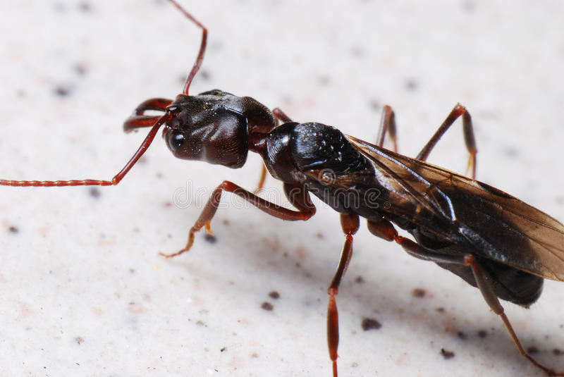 Big Black Winged Ant royalty free stock photos