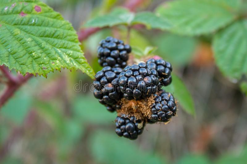 Big Blackberries on a Bramble in the Woods stock photography
