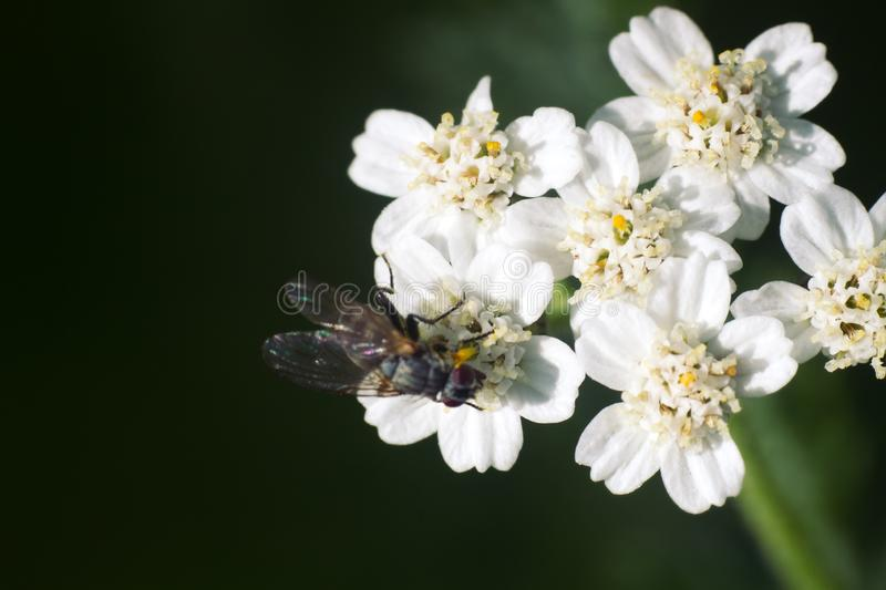 Big blowfly on white flower as bride clothes stock image