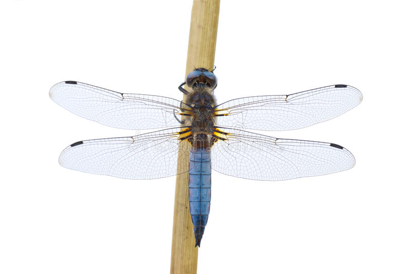 Big blue dragonfly. (Libellula depressa) sitting on the cane stalk isolated on the white background stock images