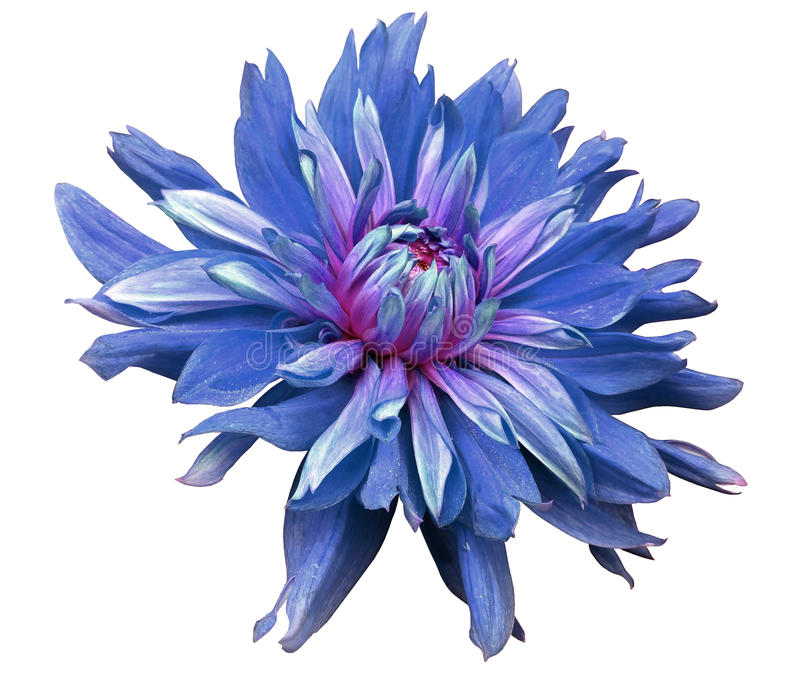 Big blue flower opens on a white background isolated with clipping path. Closeup. side view for design. with drops of water. Dah. Lia royalty free stock image