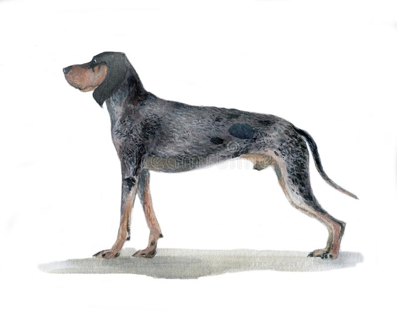 The big blue Gascon beagle painted in watercolor in profile stock photos