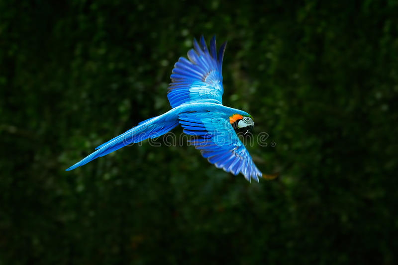 Big blue parrot in fly. Ara ararauna in the dark green forest habitat. Beautiful macaw parrot from Pantanal, Brazil. Bird in stock photo