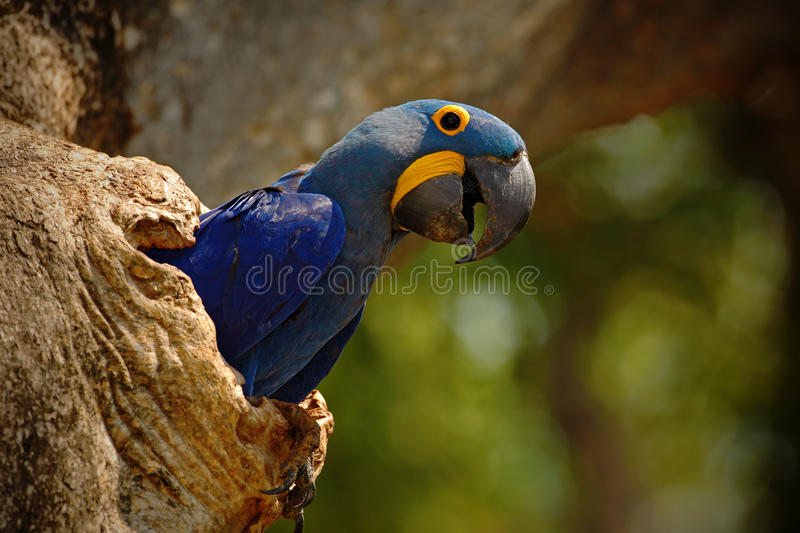 Big blue parrot Hyacinth Macaw, Anodorhynchus hyacinthinus, in tree nest cavity, Pantanal, Brazil, South America stock photo