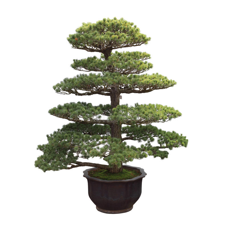 Big bonsai pine. General decoration in the traditional garden or park entrance royalty free stock photography