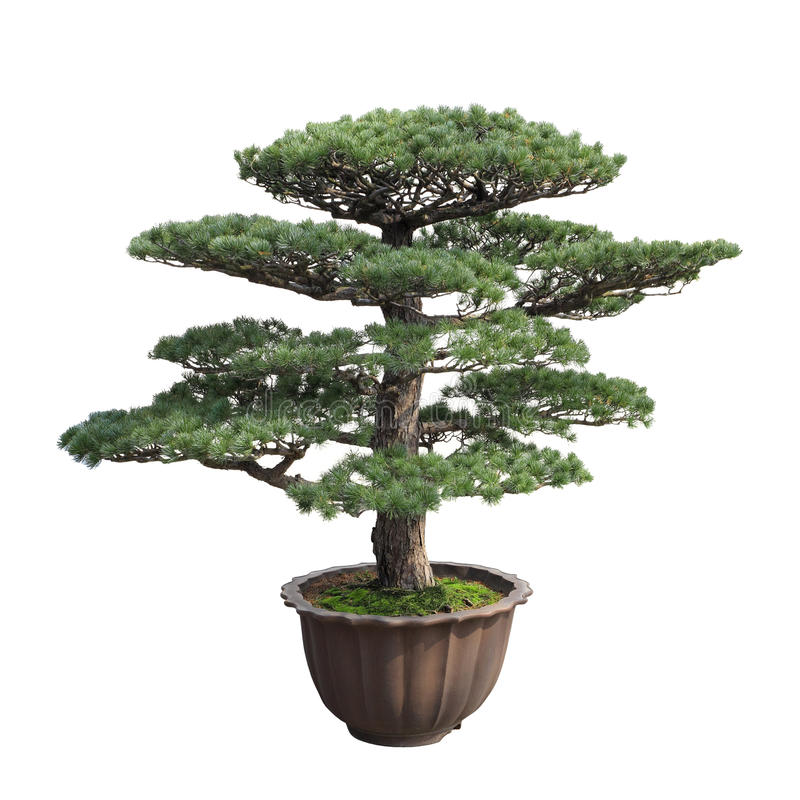 Big bonsai pine stock images