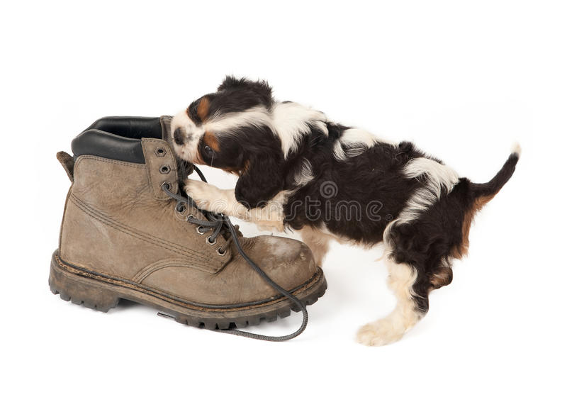 Download Big boot with small dog stock image. Image of boots, puppies - 18081949