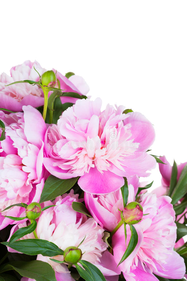 Big bouquet of pink peonies stock photo