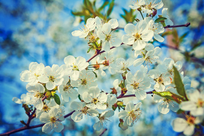Big Branch With White Flowers Of Cherry Tree Stock Image - Image of ...