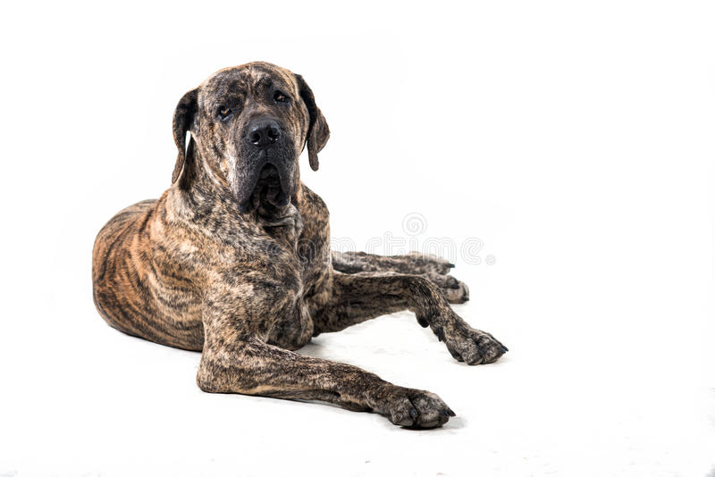 Big brazilan fila dog lying. In front of white background stock photos