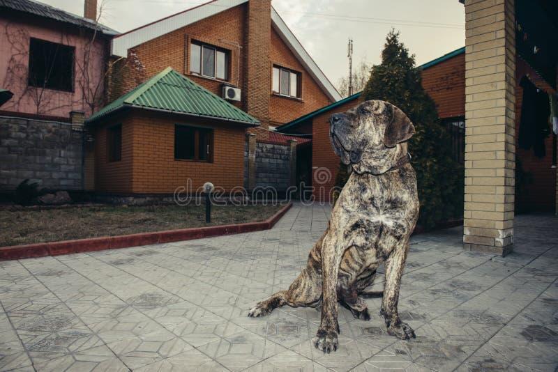 Big brazilian fila dog protecting the property sitting in the yard. Big brazilian fila dog protecting the property sitting in the yard stock photography