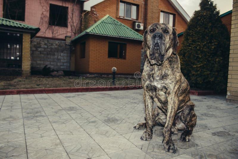 Big brazilian fila dog protecting the property sitting in the yard. Big brazilian fila dog protecting the property sitting in the yard royalty free stock photos