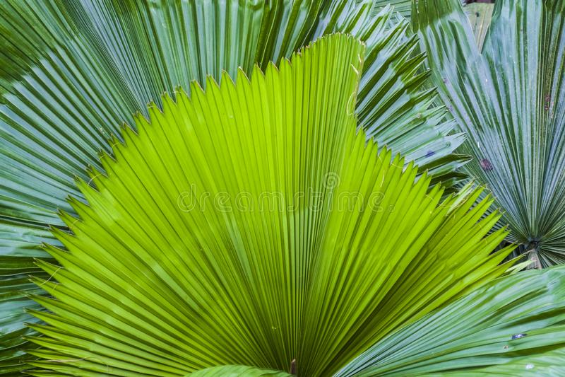 Big and bright green leaves of a palm tree of different shades in a botanical garden. Greenhouse. Tropical forest. Plants. Nature. stock photography