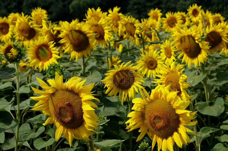 Big bright sunflowers on field. stock photography