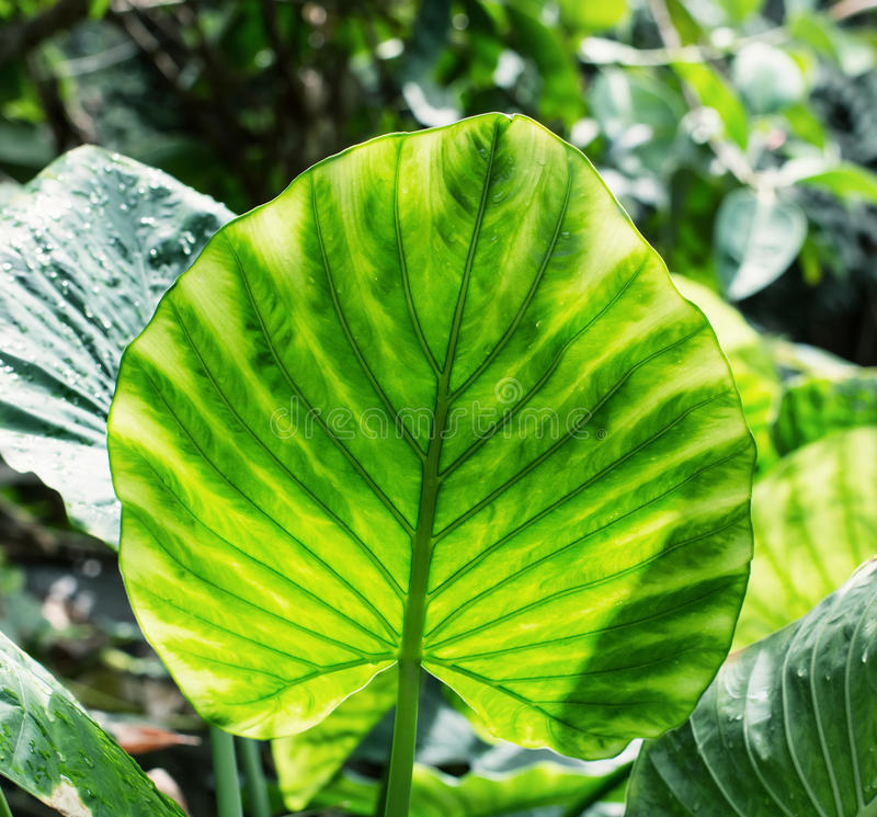 Big brightly green leaf royalty free stock photography