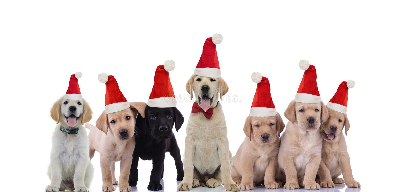 Big brother labrador retriever celebrating christams with its smaller brothers. On white background stock photo