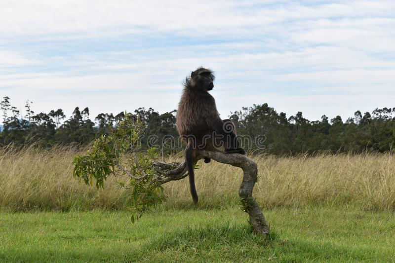 A big brown baboon is sitting on a tree branch in South Africa stock image