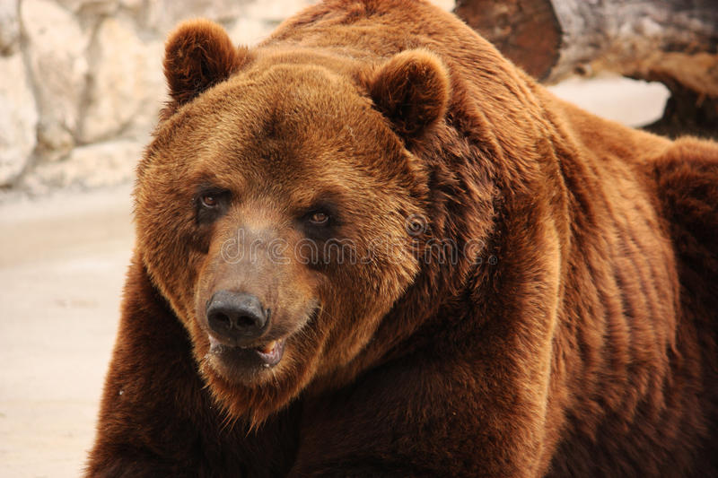 Big brown bear. Close-up royalty free stock images