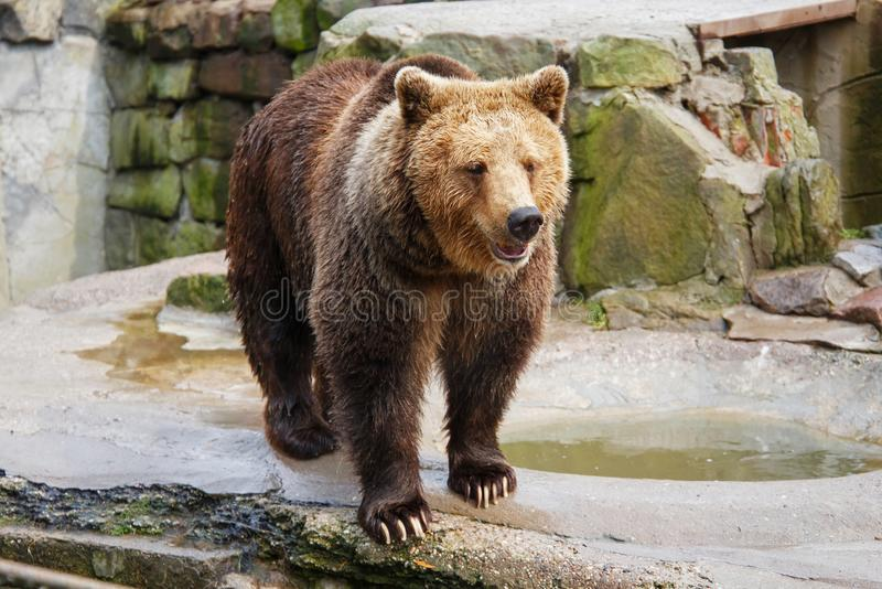 Big brown bear. Big brown bear in a zoo on an artificial rock royalty free stock image