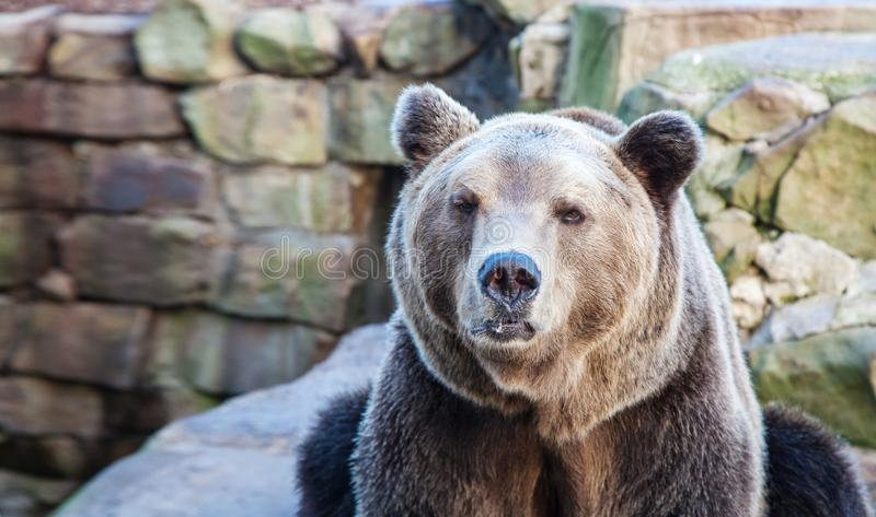 Big brown bear in a city zoo. Closeup on sunny day stock photography