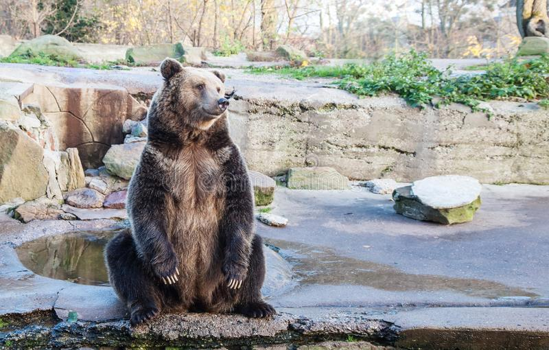 Big brown bear in a city zoo. Closeup on sunny day royalty free stock images