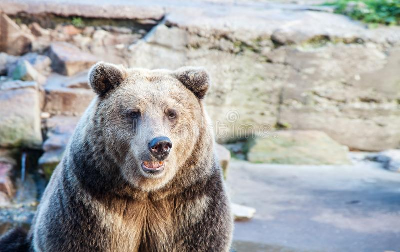 Big brown bear in a city zoo. Closeup outdoor on sunny summer day stock photo