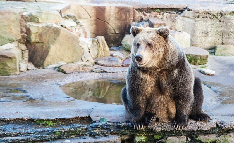 Big brown bear in a city zoo. Closeup on sunny day royalty free stock photos