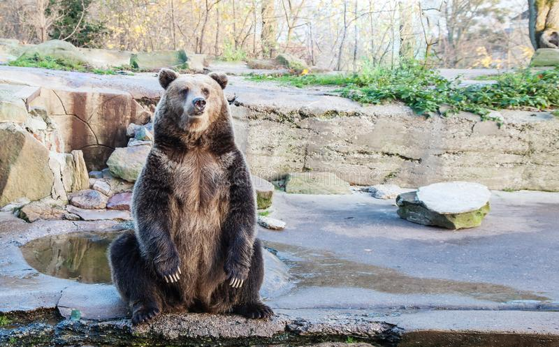 Big brown bear in a city zoo. Closeup on sunny day stock photo