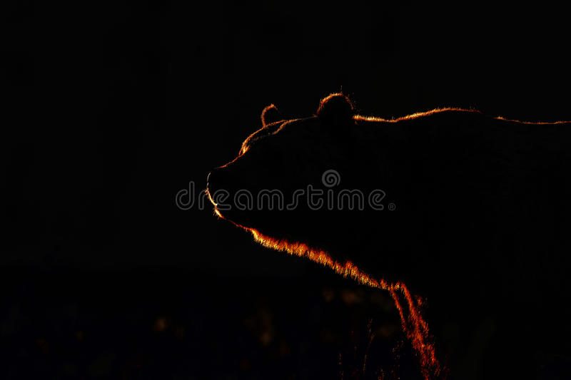 Download Big Brown Bear In Contra Light Stock Photo - Image: 21344078