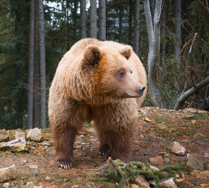 Big brown bear in a edge of coniferous forest royalty free stock photos