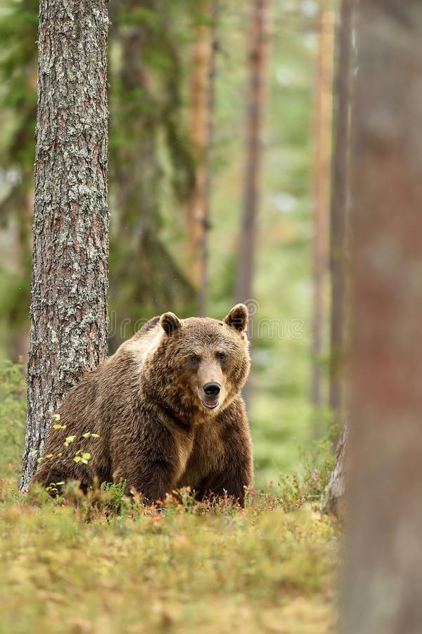 Big brown bear in forest. Landscape stock photo