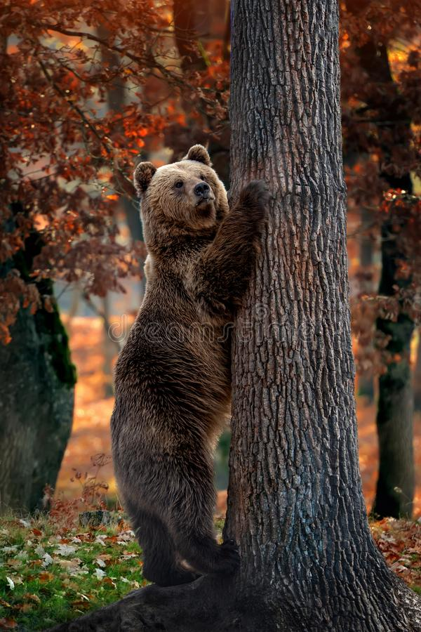 Big brown bear in forest. Close up big brown bear in autumn forest stock photography