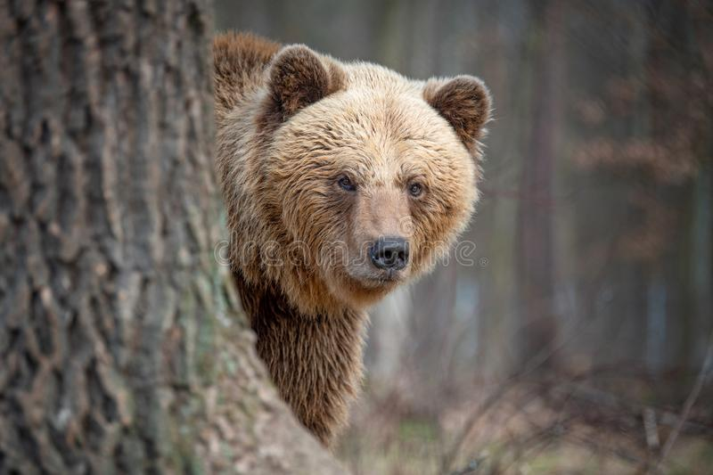 Big brown bear in forest. Close up big brown bear in spring forest stock photos